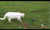 Katinas-chuckas vs gyvatė