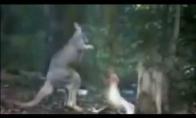 Antis su kengūra