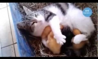 Katė įsivaikino ančiukus