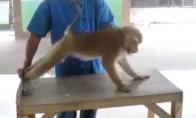Pavojingiausia pasaulyje bezdžionė