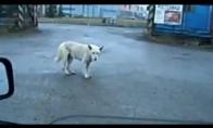 Klubinis šuo