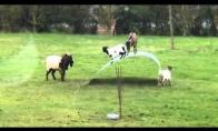 Linksmiausia diena ožkų gyvenime