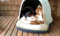 Kiek šuniukų telpa būdoj?