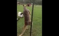 Kulturistė kengūra