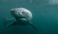 Netikėta akistata su baltuoju rykliu