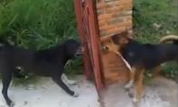 Šaltakraujų šunėkų rietynės
