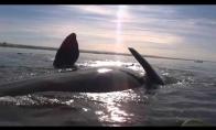 Pasiplaukiojimas ant banginio nugaros