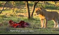 P*dina liūtų maistą
