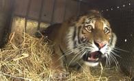 Tigrus paleidžia į laisvę