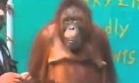 Orangutangas prikolina
