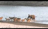 Drambliuko išsigelbėjimas nuo 14 liūtų bandos
