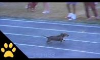 Šuniukų lenktynių sukčius