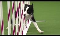 Nesveikai greitas šuns pasirodymas