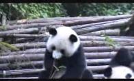 Čiaudinti panda