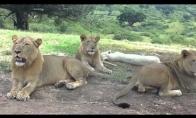 Liūtas atidaro turistų džipo dureles