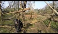 Šimpanzė, kuriai nepatiko filmuotis