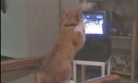 Katinas bokso fanas