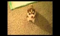 Retos veislės kalbantis šuo