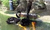 Juodosios gulbės maitina žuvis