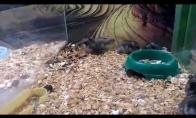 Žiurkėnas - kūlverstininkas