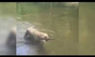 Labradoras - fokusinininkas