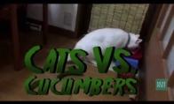 Katės prieš agurkus