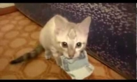 Katinas vagišius