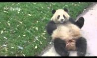 Panda - kamuolys