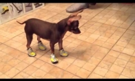 Batuotas šuo