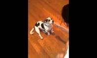 Šuo išdresuojamas miauksėti