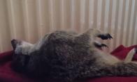 Miegantis surikatas