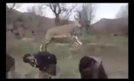 Smagus žaidimas su ožka