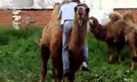 Kaubojus ir kupranugaris
