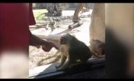 Beždžionės reakcija į magišką triuką
