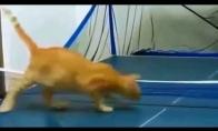 Katinas, kuris mėgsta stalo tenisą