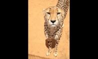 Kaip gepardai miauksi?