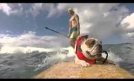Buldogas užkariauja bangas