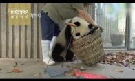 Sunkus pandų prižiūrėtojų darbas