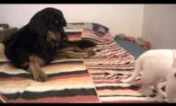 Kačiukas užp*sa šunį
