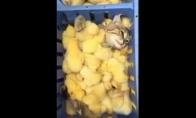 SPA procedūra: viščiukų vonelės