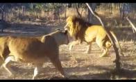 Liūtė išgąsdina savo vyrą