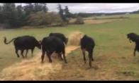 Karvės tiesia naują kilimą