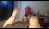Papūga išsikalinėja iš katinų