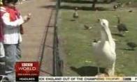 Plėšrus pelikanas