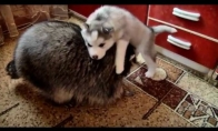 Meškėnas, katinas ir Haskis