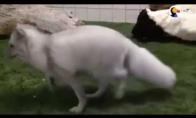 Priglausta lapė pirmą kartą susipažįsta su lapinu