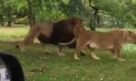 Grėsmingi liūtai su siurprizu