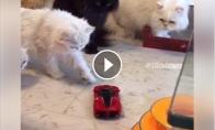 6 katės prieš žaislinę mašinėlę