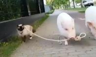 Kiaulė vedžioja katę