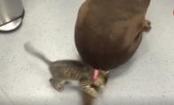 Mielas kačiukas žaidžia su šuns uodega